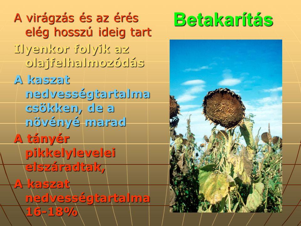 Betakarítás A virágzás és az érés elég hosszú ideig tart Ilyenkor folyik az olajfelhalmozódás A kaszat nedvességtartalma csökken, de a növényé marad A tányér pikkelylevelei elszáradtak, A kaszat nedvességtartalma 16-18%