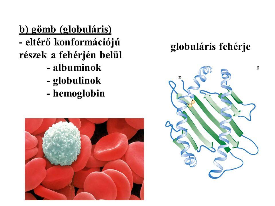 b) gömb (globuláris) - eltérő konformációjú részek a fehérjén belül - albuminok - globulinok - hemoglobin globuláris fehérje