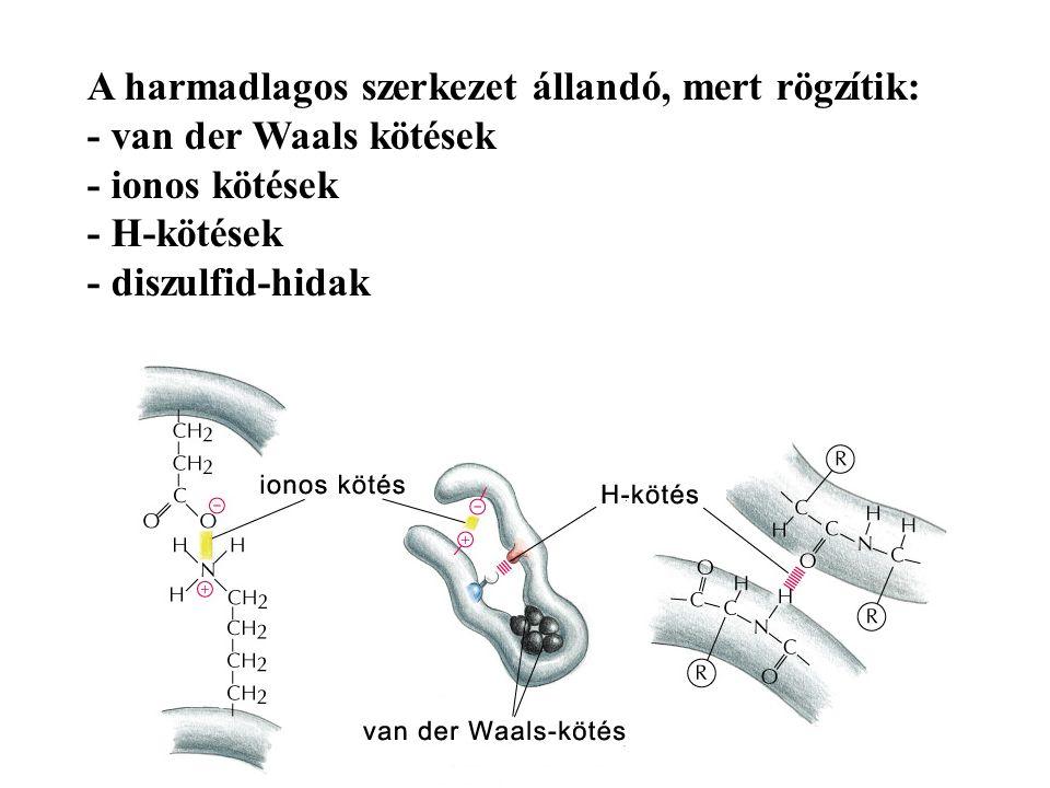 A harmadlagos szerkezet állandó, mert rögzítik: - van der Waals kötések - ionos kötések - H-kötések - diszulfid-hidak