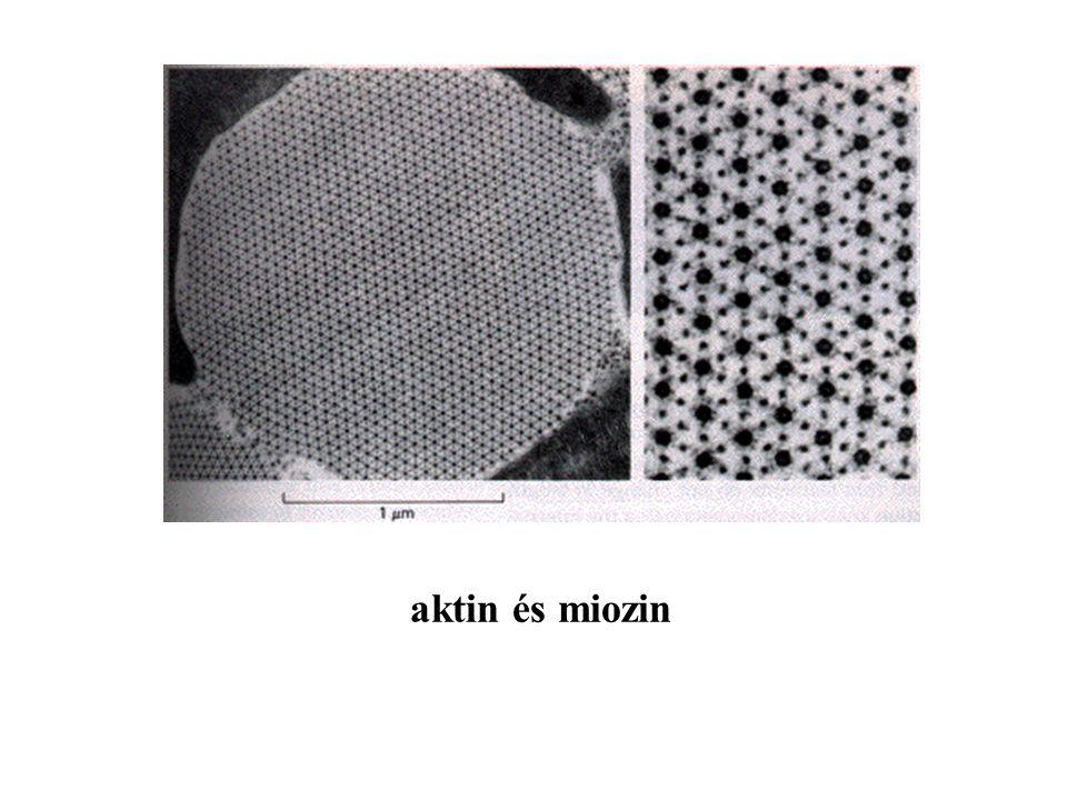 aktin és miozin
