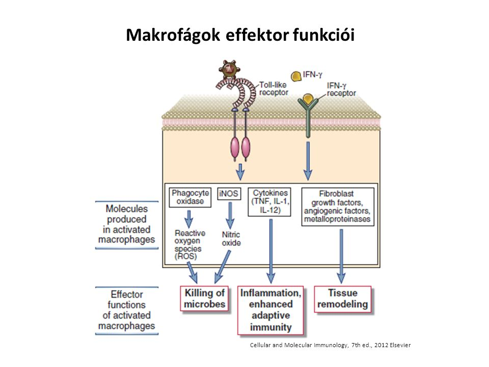 Makrofágok effektor funkciói Cellular and Molecular Immunology, 7th ed., 2012 Elsevier