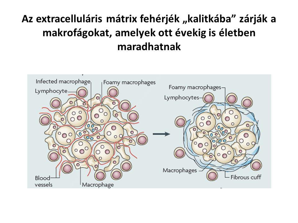 """Az extracelluláris mátrix fehérjék """"kalitkába zárják a makrofágokat, amelyek ott évekig is életben maradhatnak"""