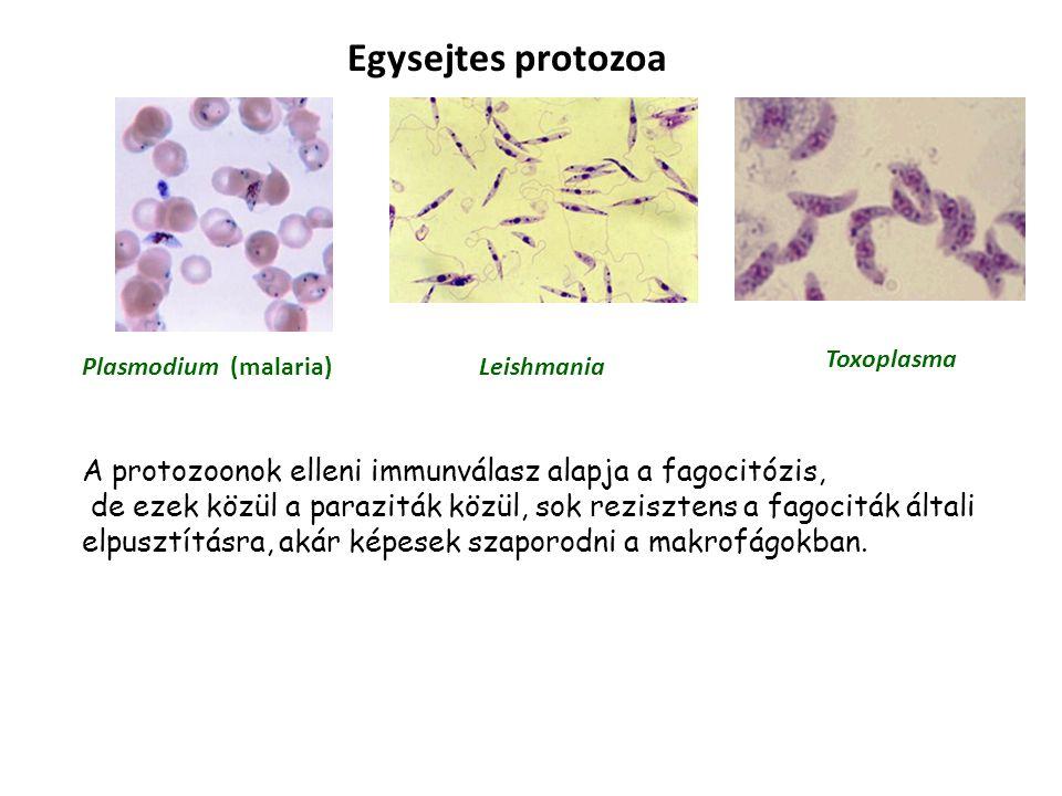Egysejtes protozoa Plasmodium (malaria)Leishmania Toxoplasma A protozoonok elleni immunválasz alapja a fagocitózis, de ezek közül a paraziták közül, sok rezisztens a fagociták általi elpusztításra, akár képesek szaporodni a makrofágokban.
