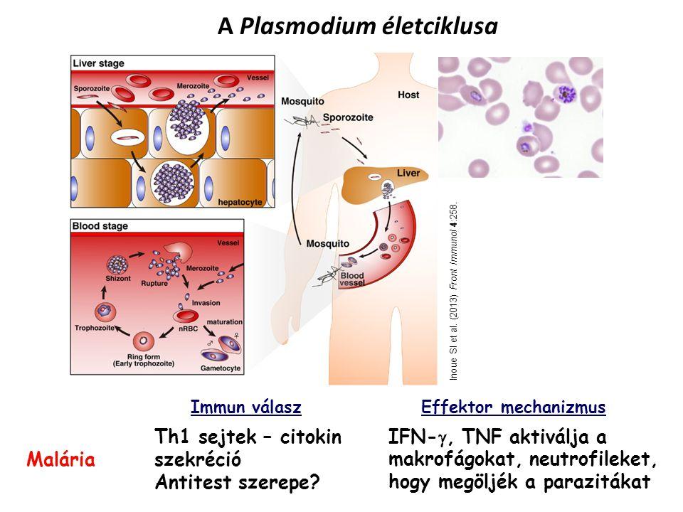 A Plasmodium életciklusa Inoue SI et al.(2013) Front Immunol 4:258.