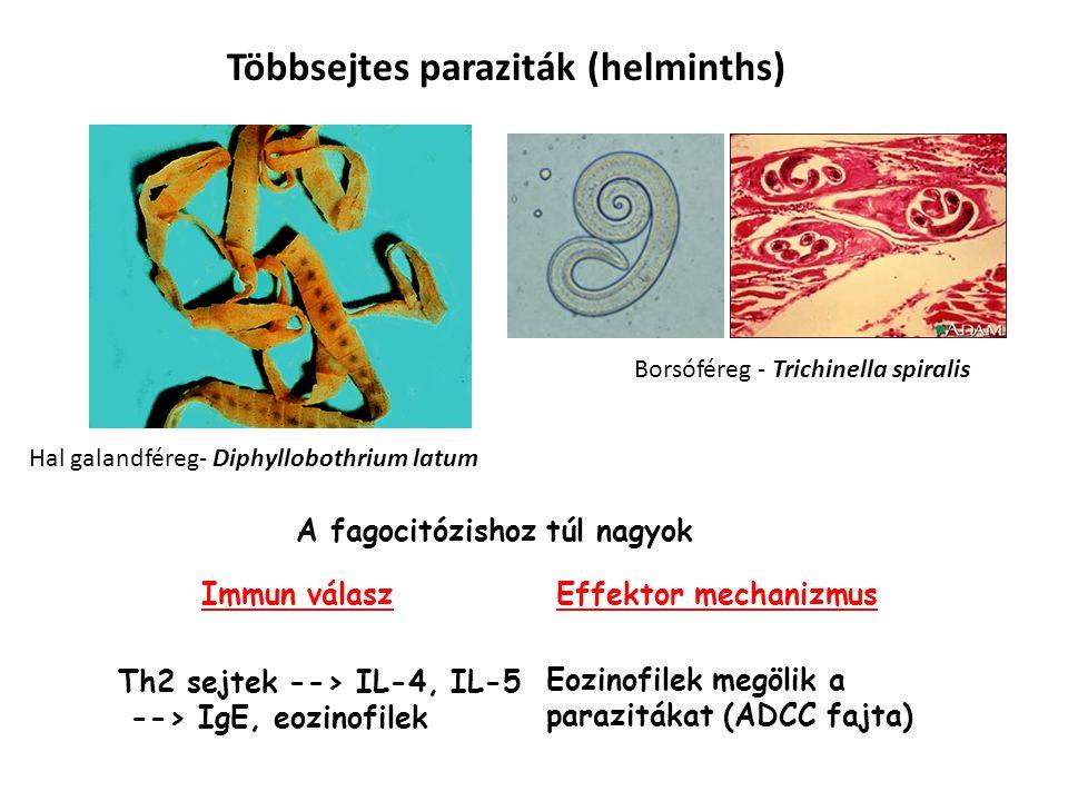 Többsejtes paraziták (helminths) A fagocitózishoz túl nagyok Hal galandféreg- Diphyllobothrium latum Borsóféreg - Trichinella spiralis Immun válaszEffektor mechanizmus Th2 sejtek --> IL-4, IL-5 --> IgE, eozinofilek Eozinofilek megölik a parazitákat (ADCC fajta)