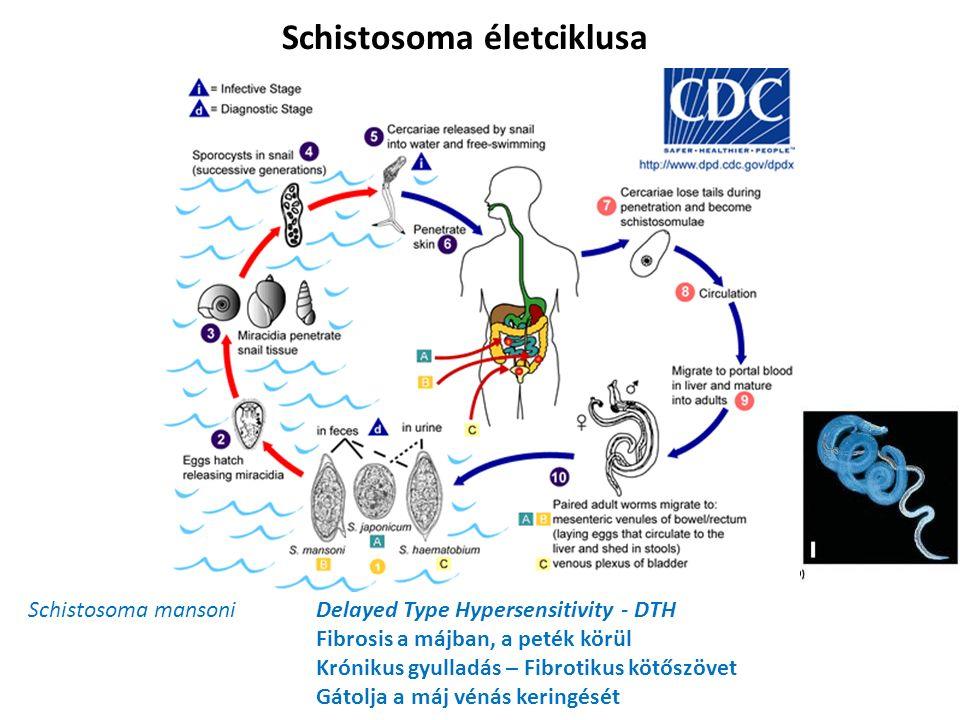 Schistosoma életciklusa Schistosoma mansoniDelayed Type Hypersensitivity - DTH Fibrosis a májban, a peték körül Krónikus gyulladás – Fibrotikus kötőszövet Gátolja a máj vénás keringését