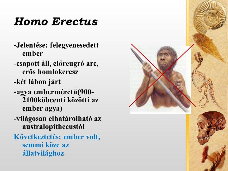 Homo Erectus -Jelentése: felegyenesedett ember -csapott áll, előreugró arc, erős homlokeresz -két lábon járt -agya emberméretű(900- 2100köbcenti közötti az ember agya) -világosan elhatárolható az australopithecustól Következtetés: ember volt, semmi köze az állatvilághoz