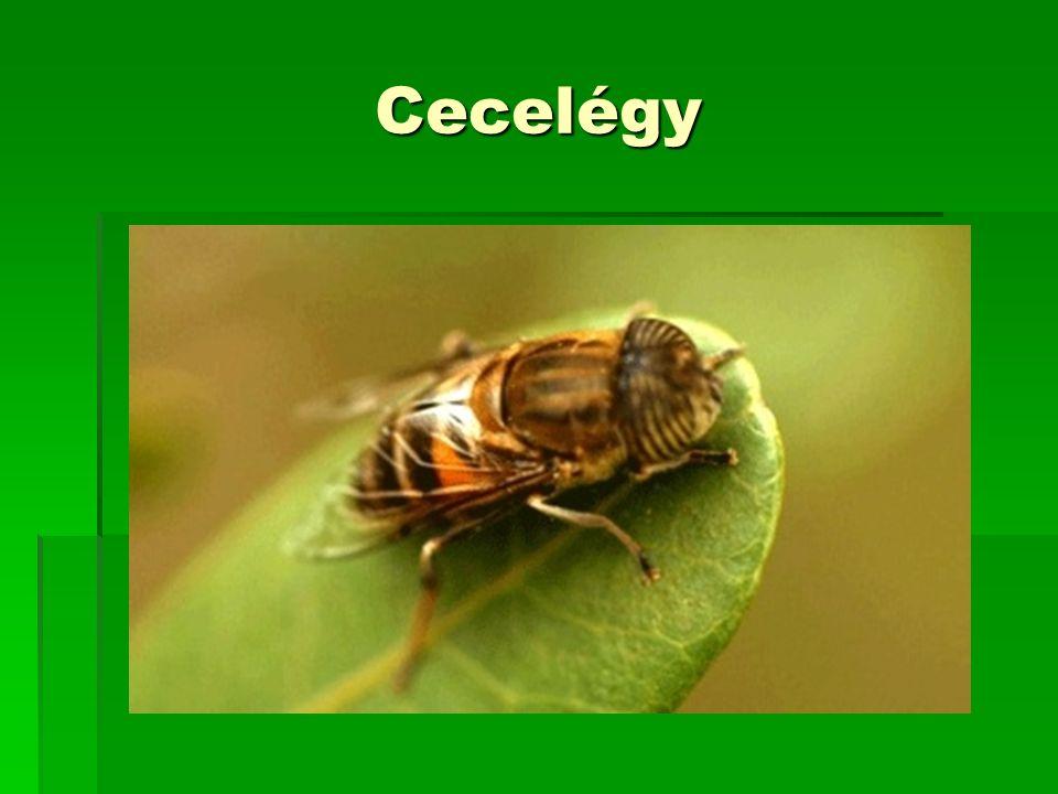 Cecelégy