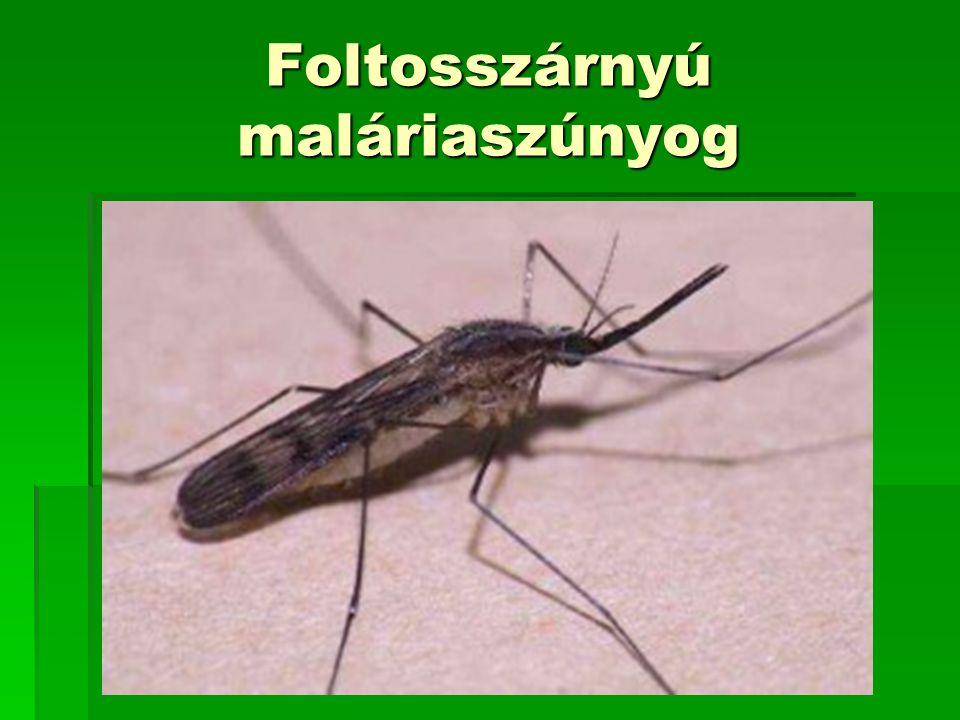 Foltosszárnyú maláriaszúnyog