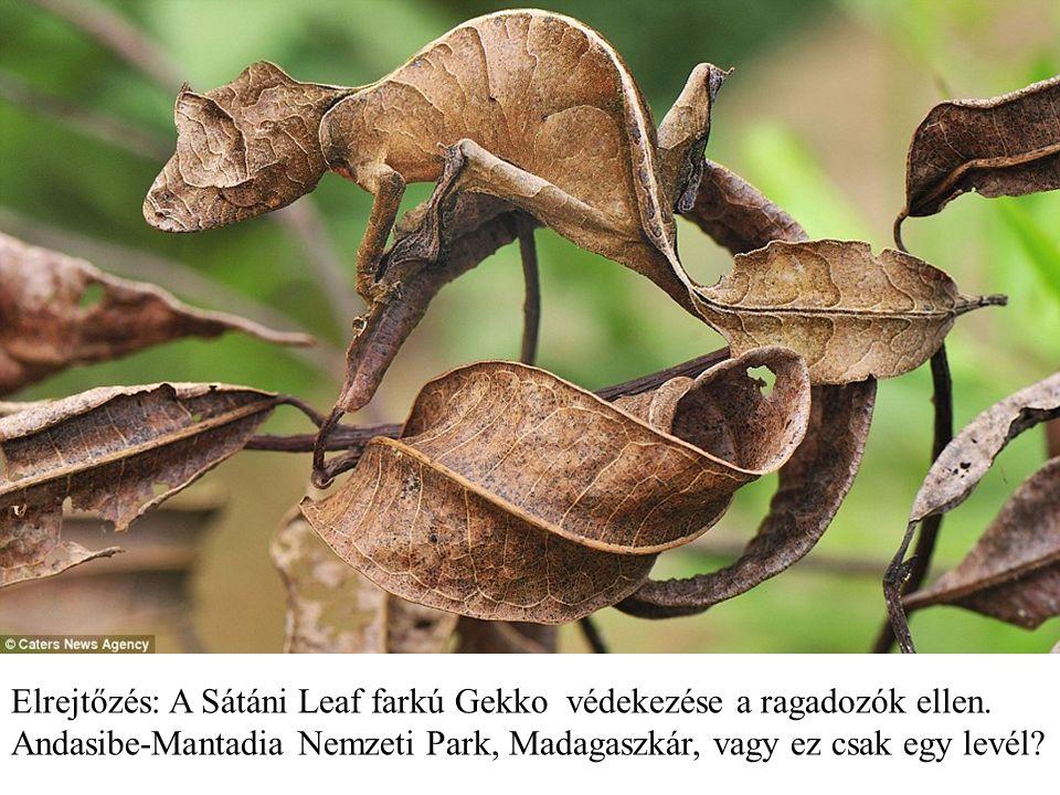 Elrejtőzés: A Sátáni Leaf farkú Gekko védekezése a ragadozók ellen.