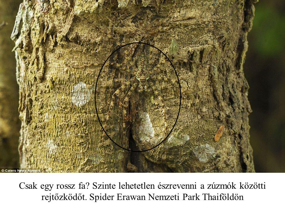 Csak egy rossz fa.Szinte lehetetlen észrevenni a zúzmók közötti rejtőzködőt.