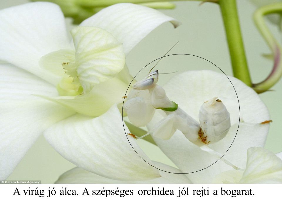 A virág jó álca. A szépséges orchidea jól rejti a bogarat.