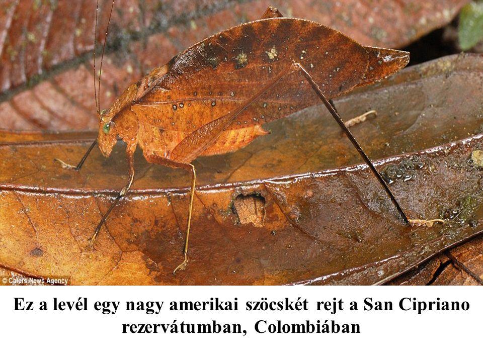 Ez a levél egy nagy amerikai szöcskét rejt a San Cipriano rezervátumban, Colombiában