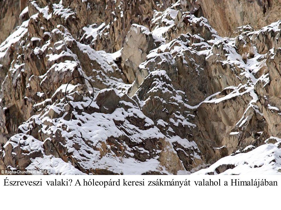 Észreveszi valaki? A hóleopárd keresi zsákmányát valahol a Himalájában