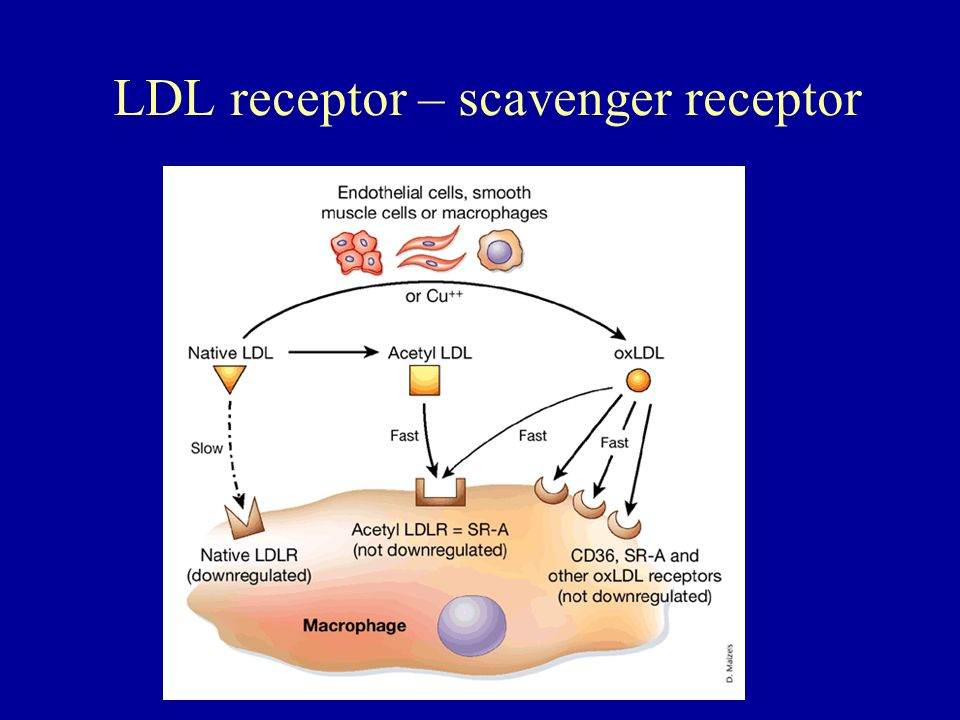 LDL receptor – scavenger receptor