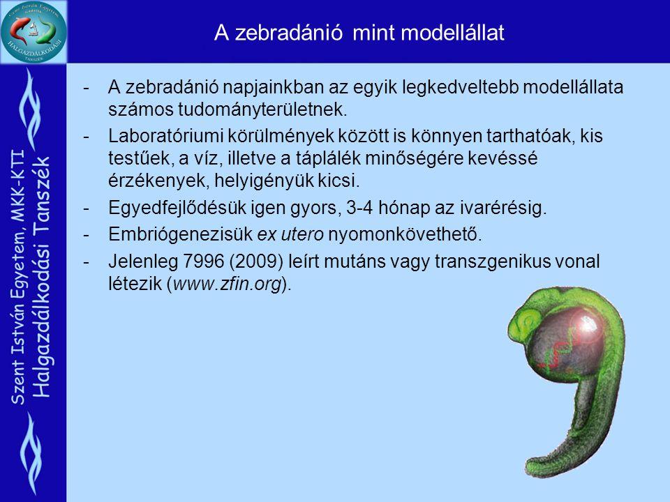 A zebradánió mint modellállat -A zebradánió napjainkban az egyik legkedveltebb modellállata számos tudományterületnek.