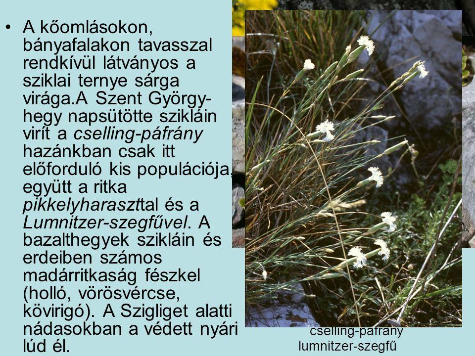A kőomlásokon, bányafalakon tavasszal rendkívül látványos a sziklai ternye sárga virága.A Szent György- hegy napsütötte szikláin virít a cselling-páfrány hazánkban csak itt előforduló kis populációja, együtt a ritka pikkelyharaszttal és a Lumnitzer-szegfűvel.