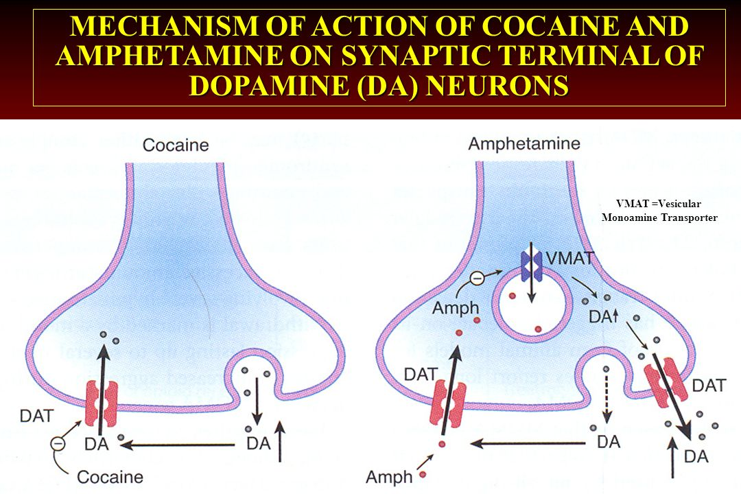MECHANISM OF ACTION OF COCAINE AND AMPHETAMINE ON SYNAPTIC TERMINAL OF DOPAMINE (DA) NEURONS VMAT =Vesicular Monoamine Transporter