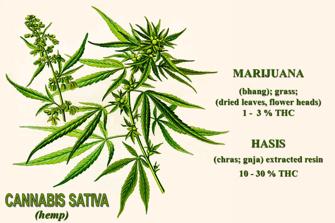 (hemp) MARIJUANA (bhang); grass; (dried leaves, flower heads) 1 - 3 % THC HASIS (chras; gnja) extracted resin 10 - 30 % THC