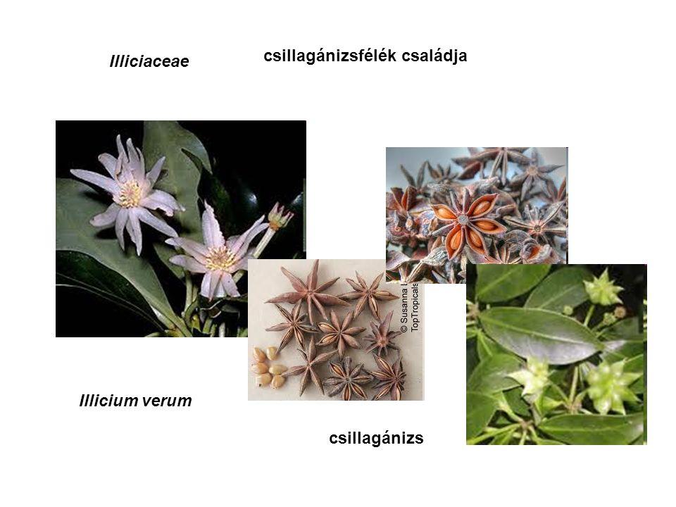 Illiciaceae csillagánizsfélék családja Illicium verum csillagánizs