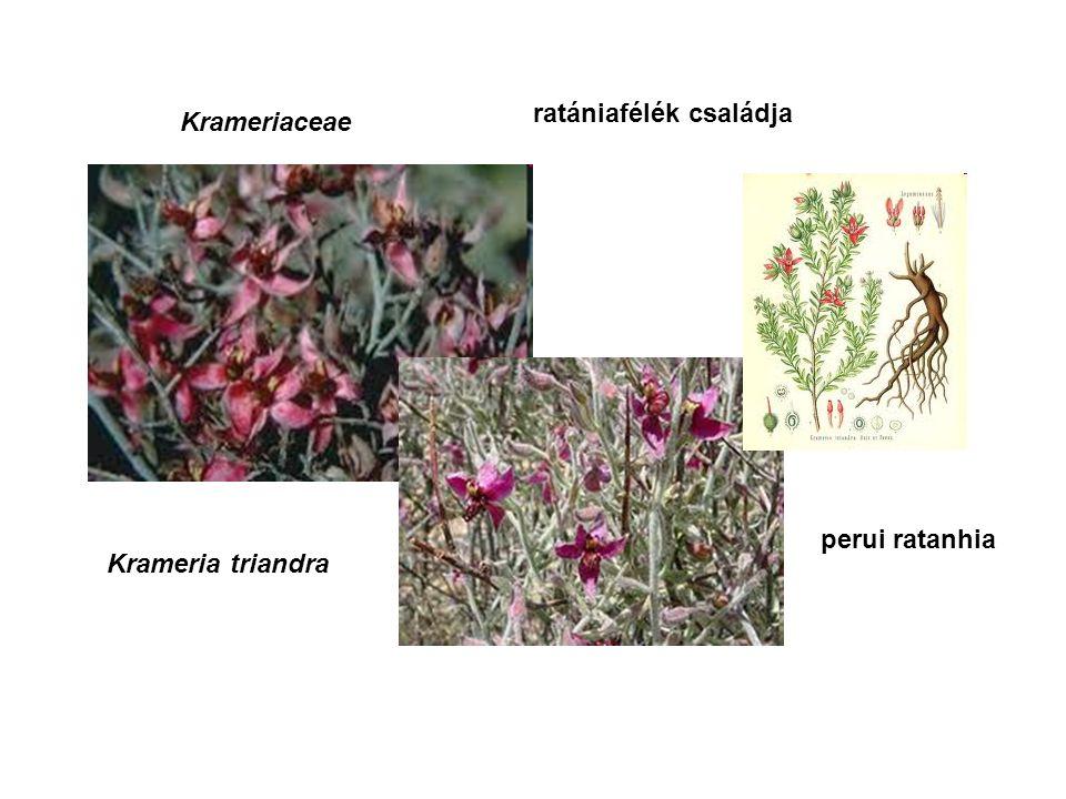 Krameriaceae ratániafélék családja Krameria triandra perui ratanhia