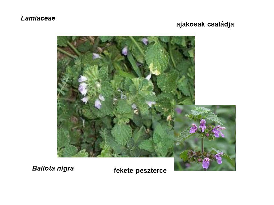 Lamiaceae ajakosak családja Ballota nigra fekete peszterce