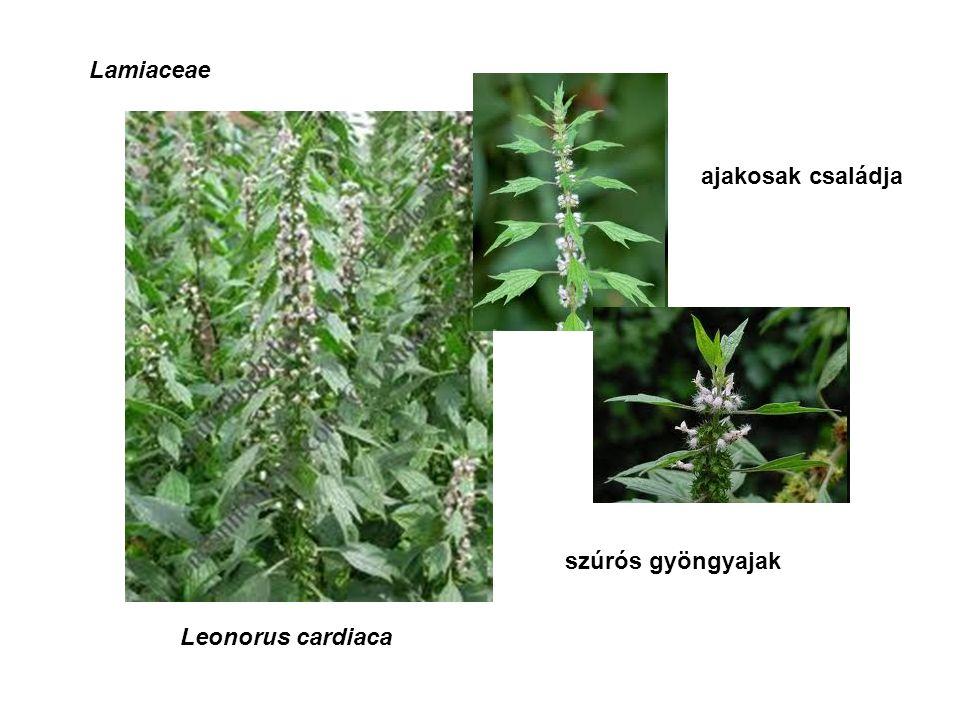 Lamiaceae ajakosak családja Leonorus cardiaca szúrós gyöngyajak