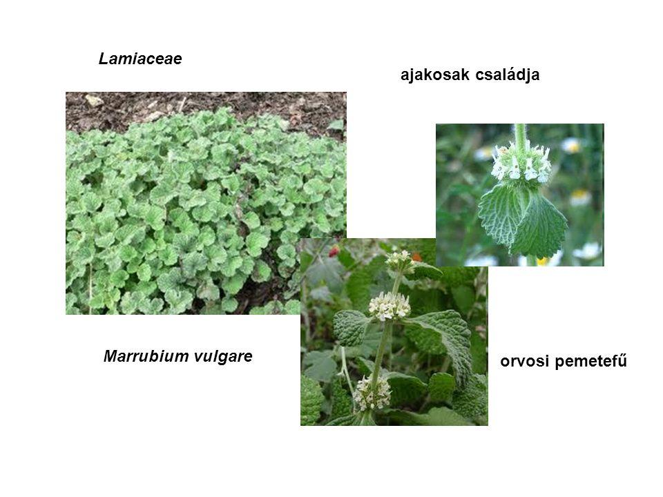 Lamiaceae ajakosak családja Marrubium vulgare orvosi pemetefű