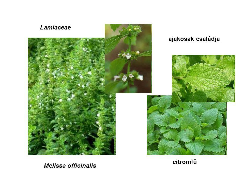 Lamiaceae ajakosak családja Melissa officinalis citromfű