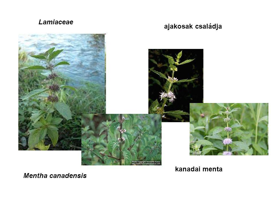 Lamiaceae ajakosak családja Mentha canadensis kanadai menta