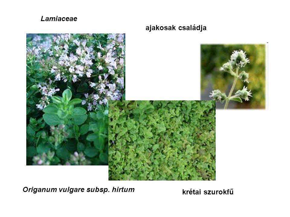 Lamiaceae ajakosak családja Origanum vulgare subsp. hirtum krétai szurokfű