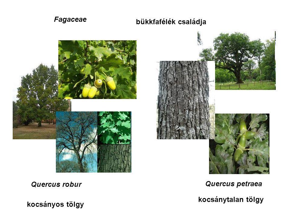 Fagaceae bükkfafélék családja Quercus robur Quercus petraea kocsánytalan tölgy kocsányos tölgy