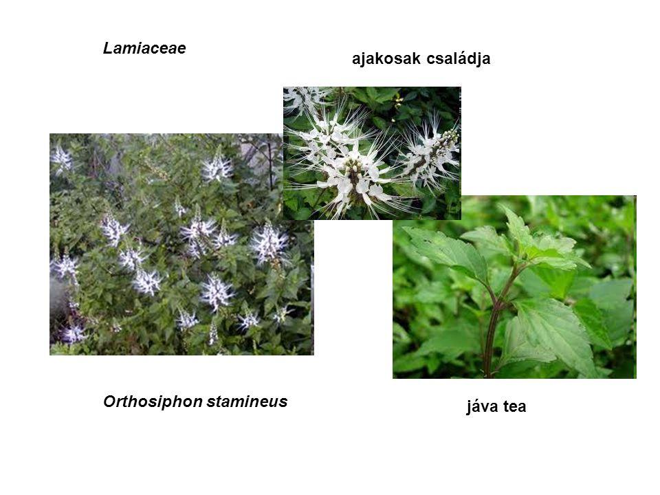 Lamiaceae ajakosak családja Orthosiphon stamineus jáva tea