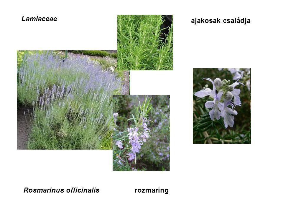Lamiaceae ajakosak családja Rosmarinus officinalisrozmaring