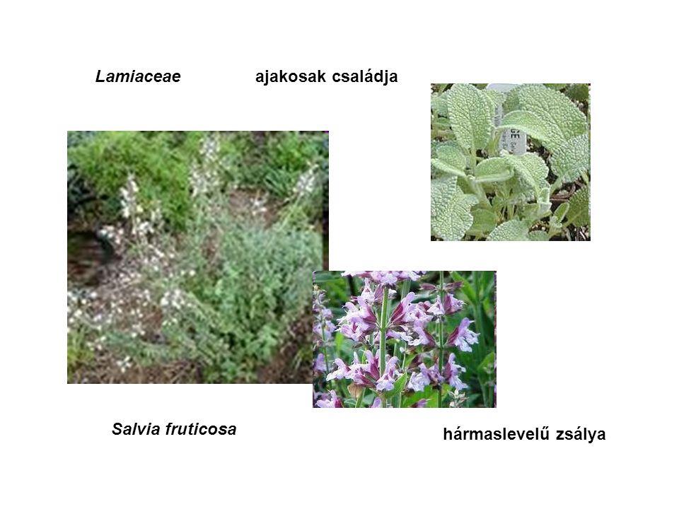Lamiaceaeajakosak családja Salvia fruticosa hármaslevelű zsálya
