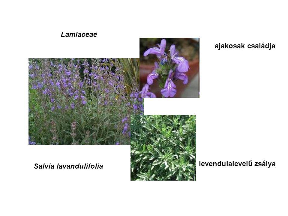 Lamiaceae ajakosak családja Salvia lavandulifolia levendulalevelű zsálya