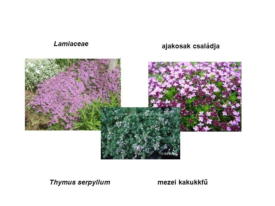 Lamiaceae ajakosak családja Thymus serpyllummezei kakukkfű