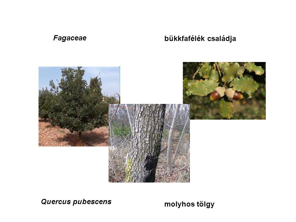 Quercus pubescens Fagaceae bükkfafélék családja molyhos tölgy