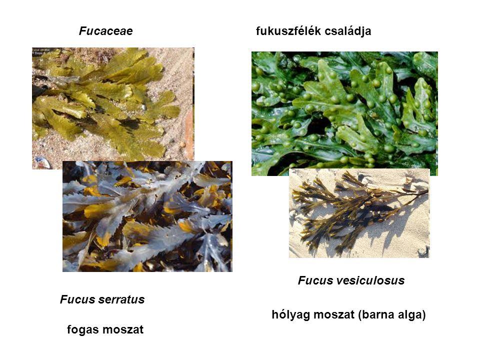Fucaceaefukuszfélék családja Fucus serratus hólyag moszat (barna alga) fogas moszat Fucus vesiculosus