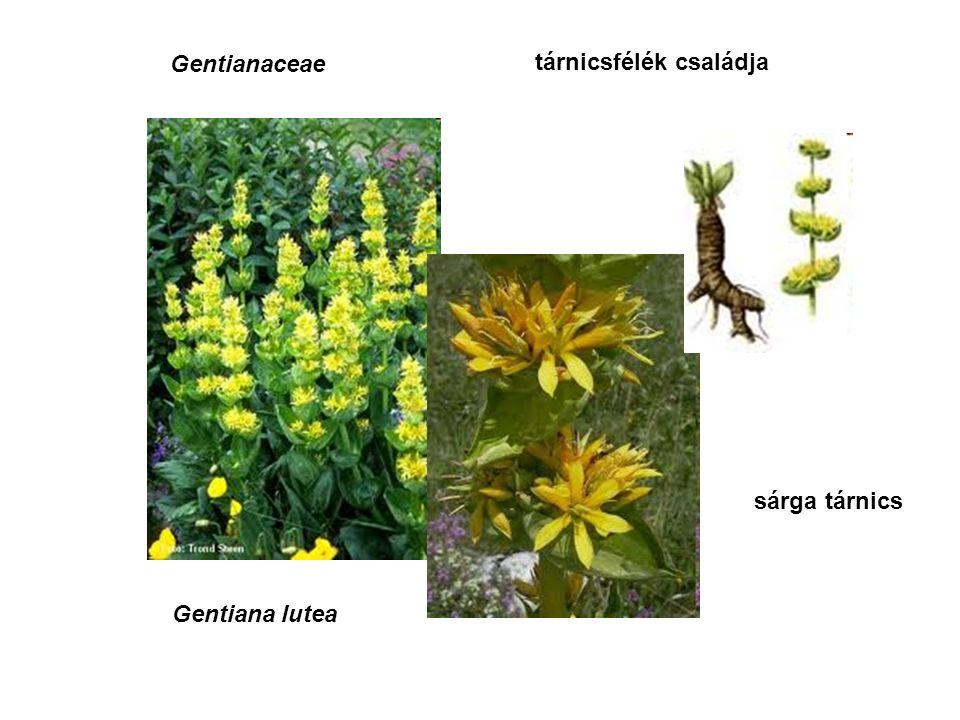 tárnicsfélék családja Gentianaceae Gentiana lutea sárga tárnics