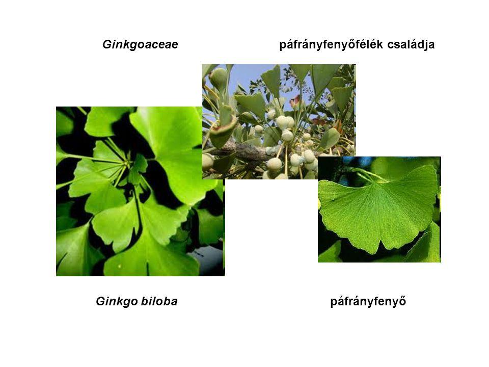 Ginkgoaceaepáfrányfenyőfélék családja Ginkgo bilobapáfrányfenyő