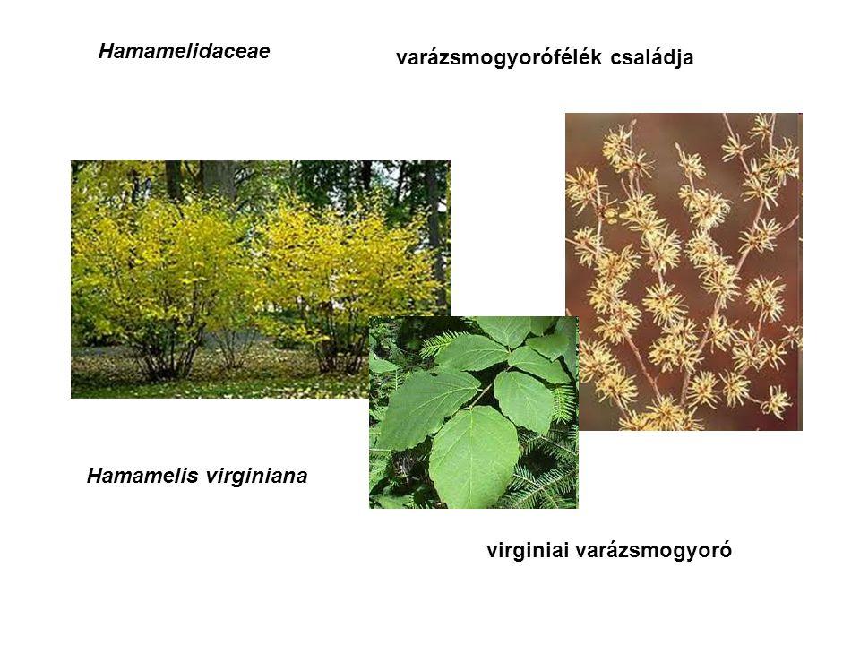 Hamamelidaceae varázsmogyorófélék családja Hamamelis virginiana virginiai varázsmogyoró
