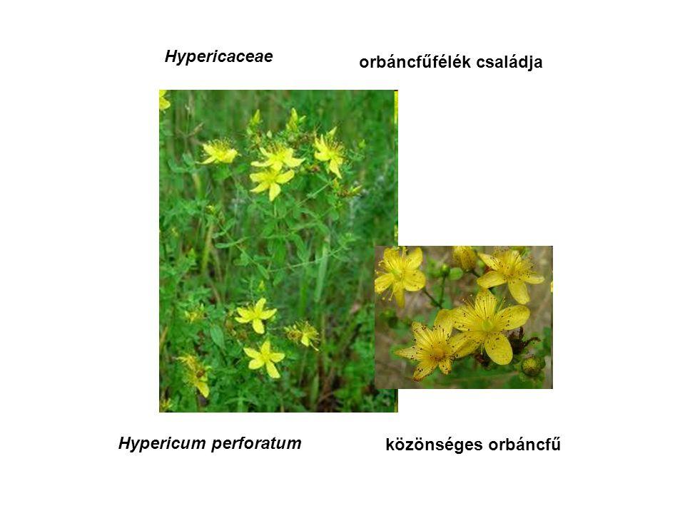 Hypericaceae orbáncfűfélék családja Hypericum perforatum közönséges orbáncfű
