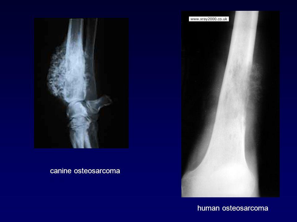 canine osteosarcoma human osteosarcoma