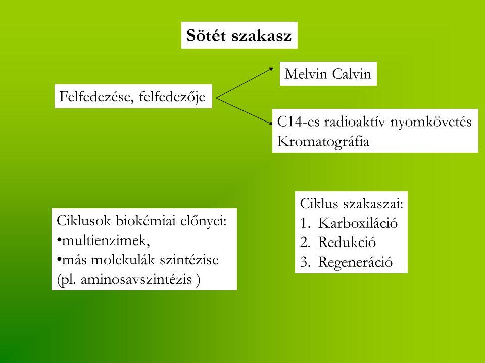 Sötét szakasz Felfedezése, felfedezője Melvin Calvin C14-es radioaktív nyomkövetés Kromatográfia Ciklusok biokémiai előnyei: multienzimek, más molekul