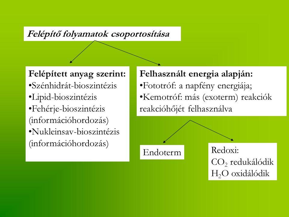 Felépítő folyamatok csoportosítása Felépített anyag szerint: Szénhidrát-bioszintézis Lipid-bioszintézis Fehérje-bioszintézis (információhordozás) Nukleinsav-bioszintézis (információhordozás) Felhasznált energia alapján: Fototróf: a napfény energiája; Kemotróf: más (exoterm) reakciók reakcióhőjét felhasználva Endoterm Redoxi: CO 2 redukálódik H 2 O oxidálódik