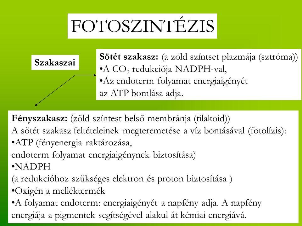 FOTOSZINTÉZIS Szakaszai Fényszakasz: (zöld színtest belső membránja (tilakoid)) A sötét szakasz feltételeinek megteremetése a víz bontásával (fotolízis): ATP (fényenergia raktározása, endoterm folyamat energiaigénynek biztosítása) NADPH (a redukcióhoz szükséges elektron és proton biztosítása ) Oxigén a melléktermék A folyamat endoterm: energiaigényét a napfény adja.