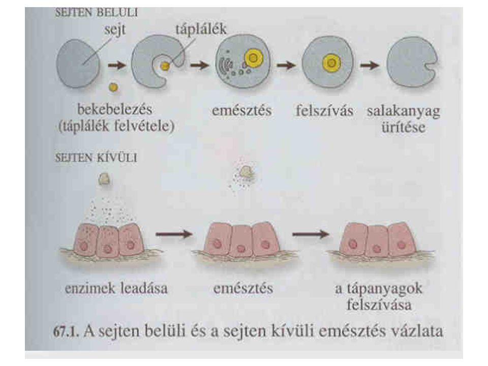 Rovarok: Két nyílású, három szakaszos táplálkozási rendszer –A tápcsatorna feltekeredett –Elkülönült emésztő mirigy kapcsolódik hozzá –A táplálék megragadására alkalmas szájszerveik vannak (végtagmódosulások) rágó, szúró- szívó, nyaló- szívó, szívó: pödörnyelv