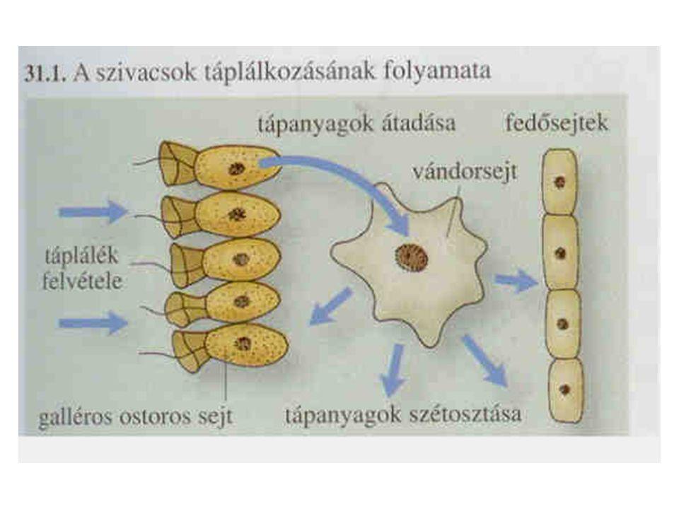 Laposférgek: örvényférgek Egy nyílású, két szakaszos bélüregük van Előbél szakasz: –Szájnyílás: hasi oldalon, középen táplálékfelvétel, emészthetetlen anyagok leadása –Garat: izmos falú, a szájnyíláson át ki tudja ölteni, ezzel ragadja meg a zsákmányát (ragadozó) táplálék előzetes emésztése Középbél szakasz: –Három főág, gazdagon elágazik és zártan végződik –Működése: tápanyagszállítás (középbél szakasz = béledényrendszer) emésztés sejten kívül és sejten belül –A táplálék ill.