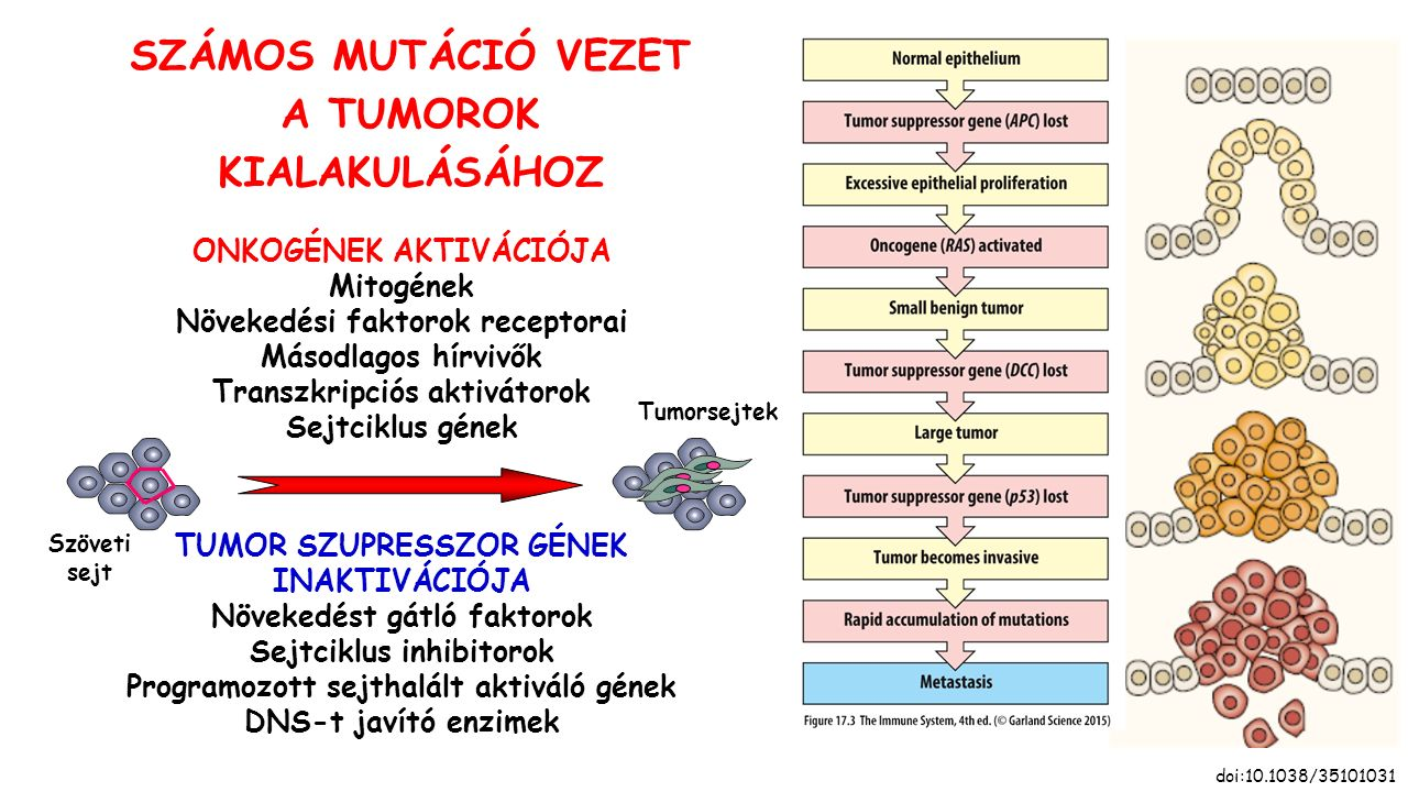 SZÁMOS MUTÁCIÓ VEZET A TUMOROK KIALAKULÁSÁHOZ doi:10.1038/35101031 Szöveti sejt ONKOGÉNEK AKTIVÁCIÓJA Mitogének Növekedési faktorok receptorai Másodlagos hírvivők Transzkripciós aktivátorok Sejtciklus gének TUMOR SZUPRESSZOR GÉNEK INAKTIVÁCIÓJA Növekedést gátló faktorok Sejtciklus inhibitorok Programozott sejthalált aktiváló gének DNS-t javító enzimek Tumorsejtek